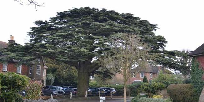 Iconic cedar tree